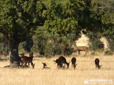 Berrea del Ciervo en Cabañeros y Montes de Toledo en 4x4;rutas faciles senderismo madrid fotos de s